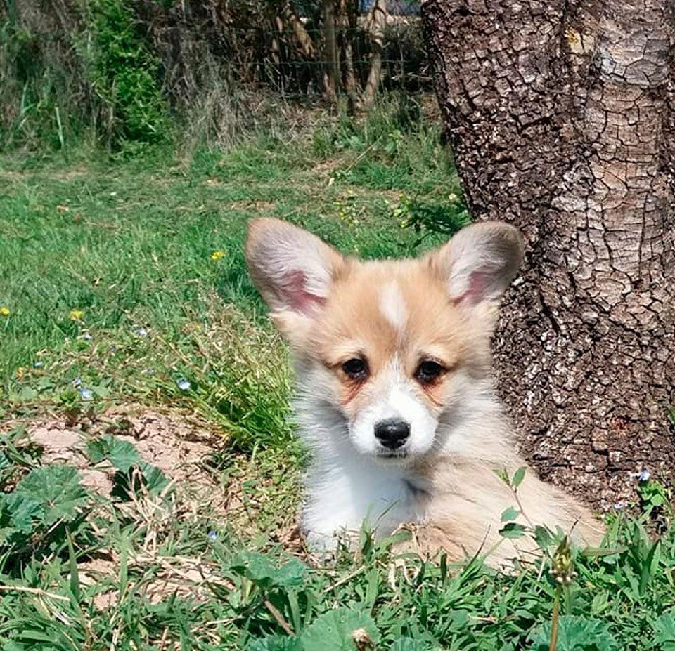 Cachorro de Corgi Cardigan