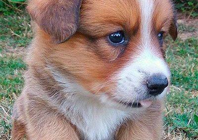 Cachorro de corgi cardigan marrón