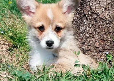 Cachorro Corgi Pembroke